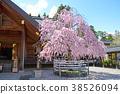 ดอกซากุระใน Kaseiyama Daijingu เมือง Koriyama จังหวัด Fukushima 38526094