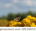 painted lady, cosmopolite, butterfly 38526654