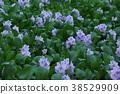 water hyacinth, bloom, blossom 38529909