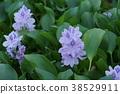 water hyacinth, bloom, blossom 38529911