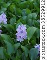 water hyacinth, bloom, blossom 38529912