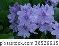 water hyacinth, bloom, blossom 38529915