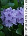 water hyacinth, bloom, blossom 38529916