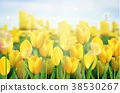 Yellow tulips flowers in the garden. vector illust 38530267