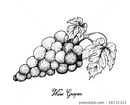 Hand Drawing of Fresh Juicy Red Grapes 38532101