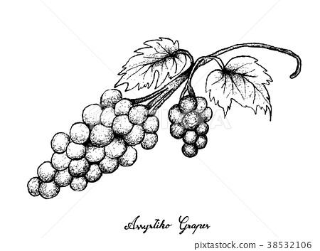 Hand Drawing of Fresh Juicy Assyrtiko Grapes 38532106