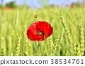 poppy, papaver, rhoeas 38534761