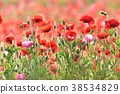 poppy, bloom, blossom 38534829