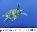 海龜 水生的 水下 38535031