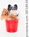 강아지 포메라니안 38538639