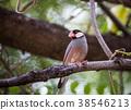 Java sparrow ( Lonchura oryzivora). 38546213
