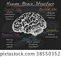 brain vector human 38550352