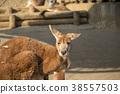 Kangaroo 38557503