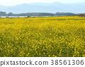 rape, rape blossoms, mustard plant 38561306