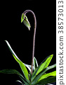 Paphiopedilum orchid or Lady's Slipper orchid. 38573013