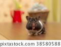 햄스터, 동물, 귀엽다 38580588