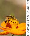 蜜蜂 西方蜜蜂 蟲子 38581509