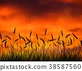 Silhouette of wheat when of sunset 38587560