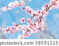 Beautiful blooming peach trees in spring on Sunny 38591225