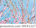 Beautiful blooming peach trees in spring on Sunny 38591227
