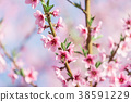 Beautiful blooming peach trees in spring on Sunny 38591229