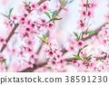 Beautiful blooming peach trees in spring on Sunny 38591230