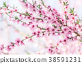 Beautiful blooming peach trees in spring on Sunny 38591231