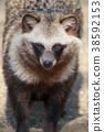 動物 陸生動物 狸 38592153