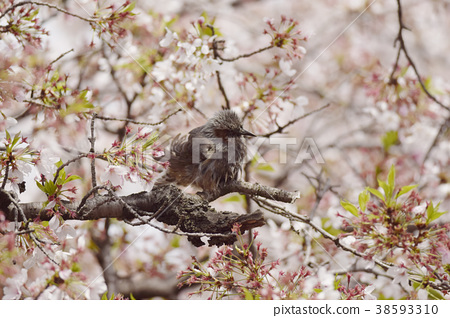 직박구리와 벚꽃 벚꽃 직박구리 조류 봄 새 계절 꽃 구경 벚꽃 피는 38593310