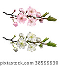 Set of Blossoming cherry branches 38599930