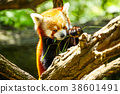 Red panda eating 38601491