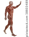 Male body without skin, anatomy and muscles 3d 38603489