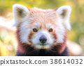 Portrait of red panda. 38614032