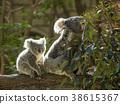 考拉 父母和小孩 親子 38615367