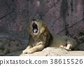 사자, 라이언, 동물 38615526