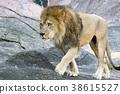 사자, 동물, 히가시야마 동물원 38615527