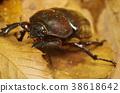 牙买加犀金龟 虫子 漏洞 38618642