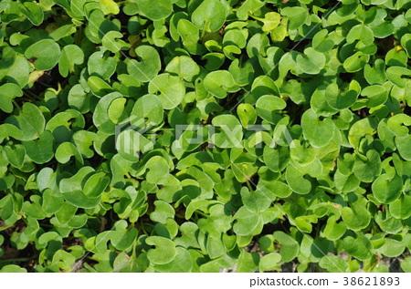 Ground cover of Daikon Dora 38621893