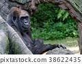 Western lowland gorilla 38622435