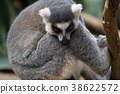 Alert ring-tailed lemur 38622572