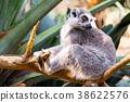 Alert ring-tailed lemur 38622576