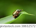 金龟子 艳金龟 昆虫 38632572