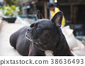 Black French Bulldog sitting in front of house 38636493