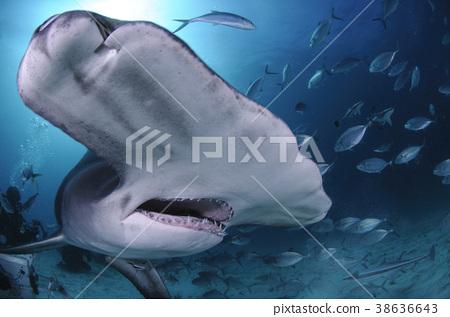 烟熏鲨鱼脸 38636643