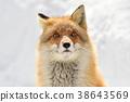 Kinta Fox在冬天 38643569