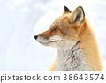 Kinta Fox在冬天 38643574