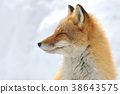 Kinta Fox在冬天 38643575