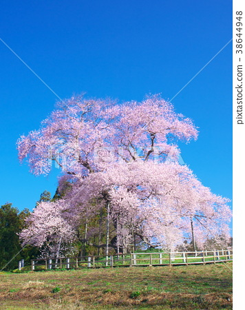 Ippon Sakura-Cherry blossoms in Totsube 38644948