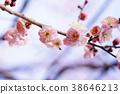 梅 神殿 日本 38646213