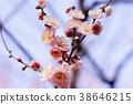 梅 神殿 日本 38646215